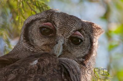 Verreaux's Eagle-Owl, Kenya