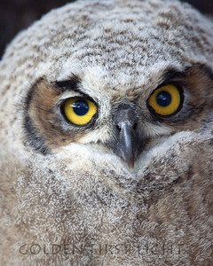 Great Horned Owl, Summer Lake Oregon