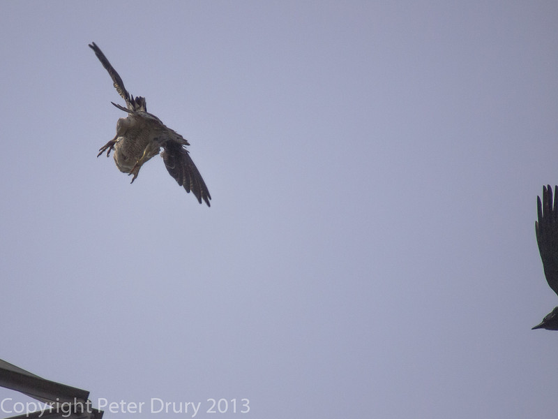 Raven finally drives off the Peregrine at Portsdown Hill