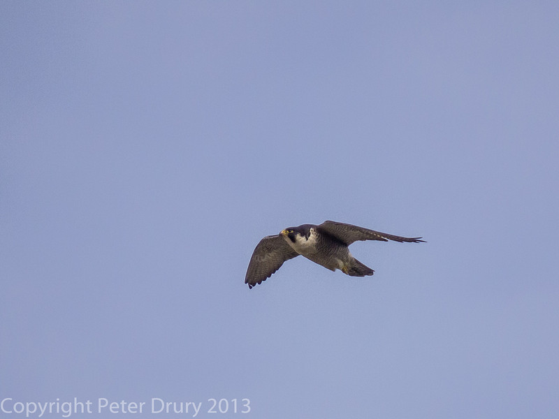 Female Peregrine at Portsdown Hill. Note the missing primary feathers as she is in the process of moulting.