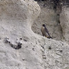 22 March 2011. Peregrine Falcons in the Chalk Quarry.  Copyright Peter Drury 2011