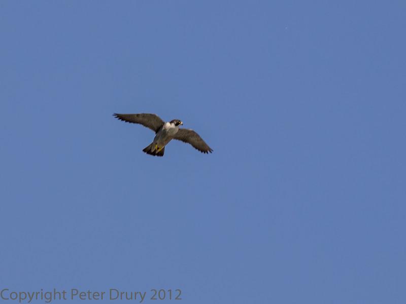 22 June 2013 Female Peregrine in flight over the quarry.