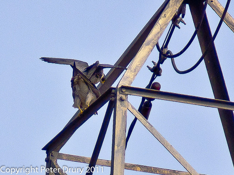 28 March 2011. Peregrine at the Chalk Quarry.  Copyright Peter Drury 2011