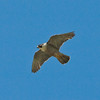 Peregrine (Falco peregrinus)<br /> The old chalk quarry, Paulsgrove, Portsmouth.