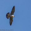 27 May 2012 Peregrine female flying over the cliff face
