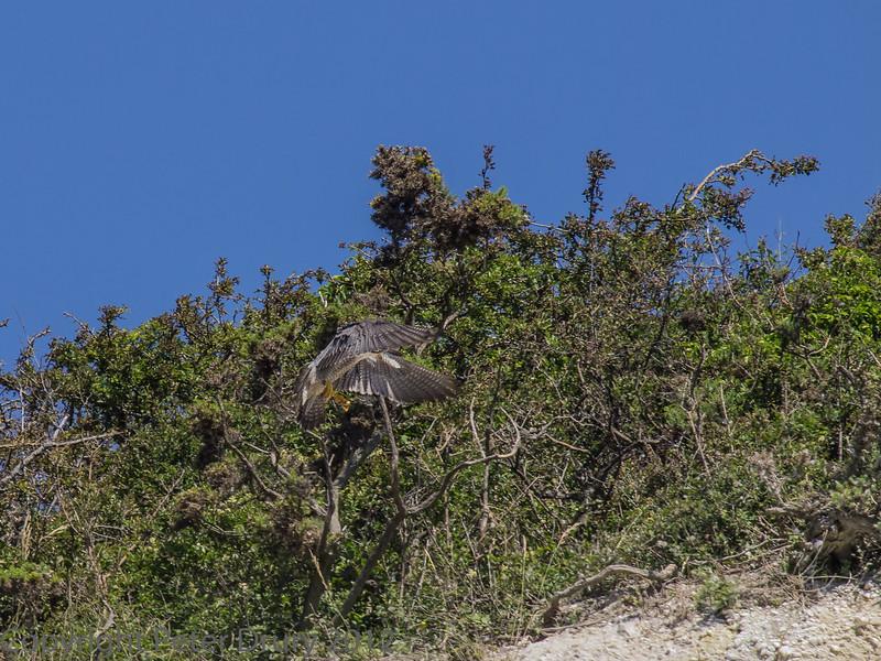 22 June 2013 Female Peregrine landing at a cliff-top perch.