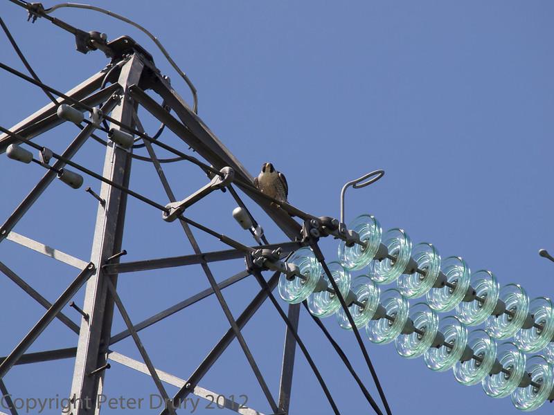 22 June 2013 Female Peregrine on nearby electricity pylon