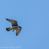 6 April 2013 Peregrine at Portsdown Hill