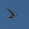 27 May 2012 Peregrine female landing on the roost perch.