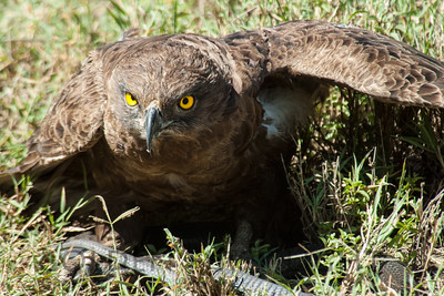 Brown Snake Eagle, Kenya