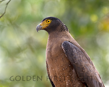 Crested Serpent Eagle, India