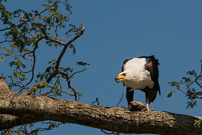 African Fish Eagle, Kenya