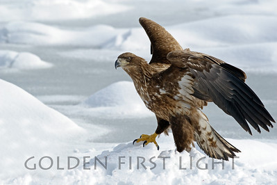 White-tailed Eagle, Japan