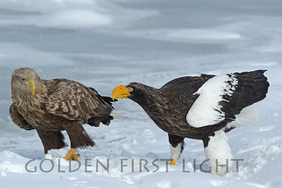 White-tailed Eagle and Steller's Sea Eagle, Japan