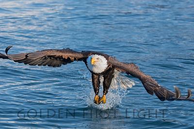 Bald Eagle, Homer Alaska