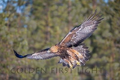 Golden Eagle, Oulu Finland