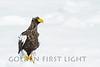 Steller's Sea Eagle, Japan