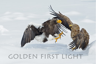 White-tailed Eagle and Steller's Sea Eagle