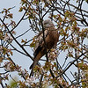 Red Kite (Milvus milvus). Copyright 2009 Peter Drury