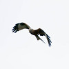Red Kite (Milvus milvus). Copyright Peter Drury 2009
