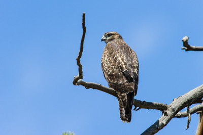red tailed hawk_0296