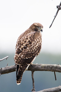 red tailed hawk_0258
