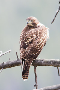 red tailed hawk_0246