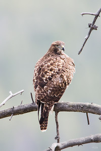 red tailed hawk_0243