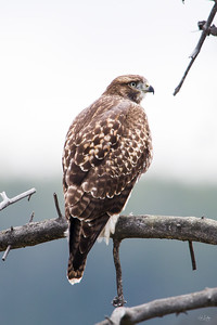 red tailed hawk_0255
