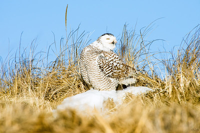 snowy owl_1519