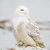 snowy owl_0158