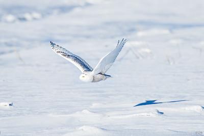 snowy owl_0949