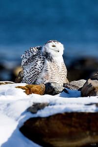 snowy owl_0586