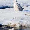 snowy owl_1196
