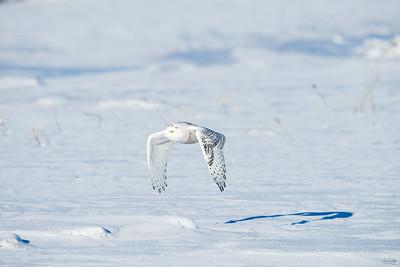 snowy owl_0948