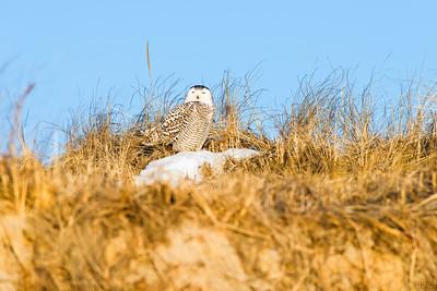 snowy owl_1419