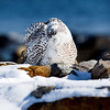 snowy owl_0582