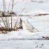 snowy owl_1582