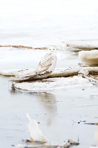 snowy owl_1760