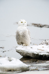 snowy owl_0223