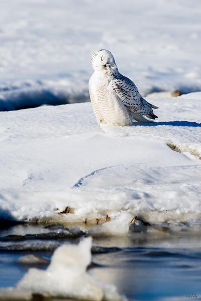snowy owl_1202