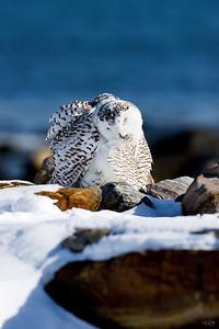 snowy owl_0585