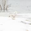 snowy owl_1788