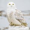 snowy owl_0154