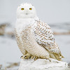 snowy owl_0155