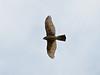 Sparrow Hawk (Accipter nisus) Female. Copyright 2009 Peter Drury