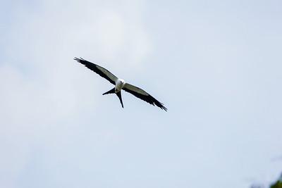 swallow-tail kite_6092