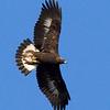 eagle38