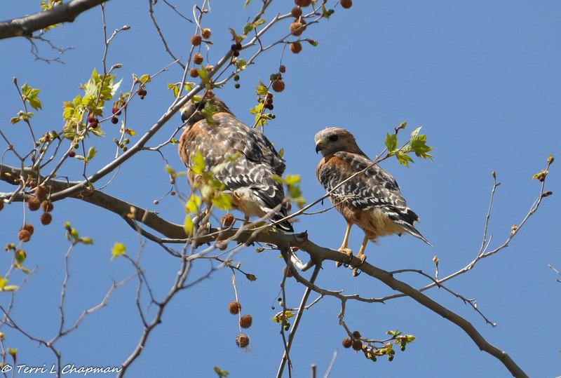 Breeding pair of Red-shouldered Hawks