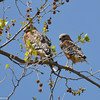 Breeding pair of Red-shouldered Hawks